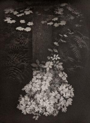 Platinum photograph of a bleeding heart bush