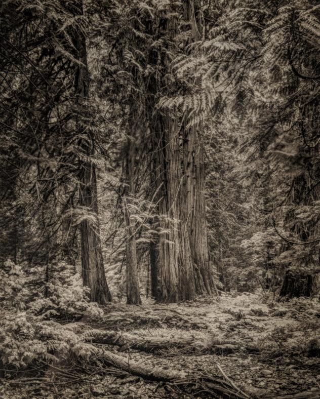 Platinum-Palladium Print of the Roosevelt Grove of Ancient Cedar