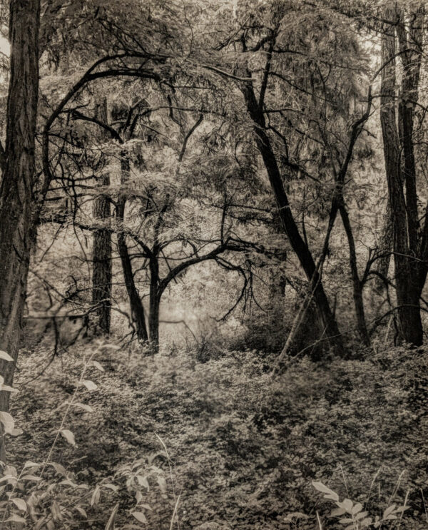Platinum-Palladium photograph of trees creating an arched tunnel.