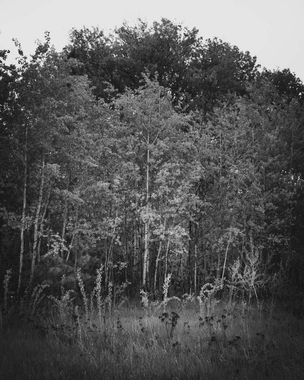 A black and white photograph of a grove of aspen.