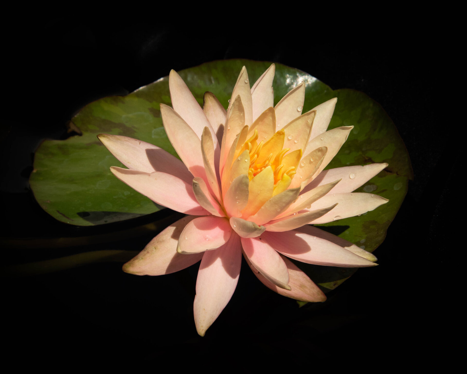 A closeup photograph of a water lily with one large leaf behind it that is shaped like an artist palette.