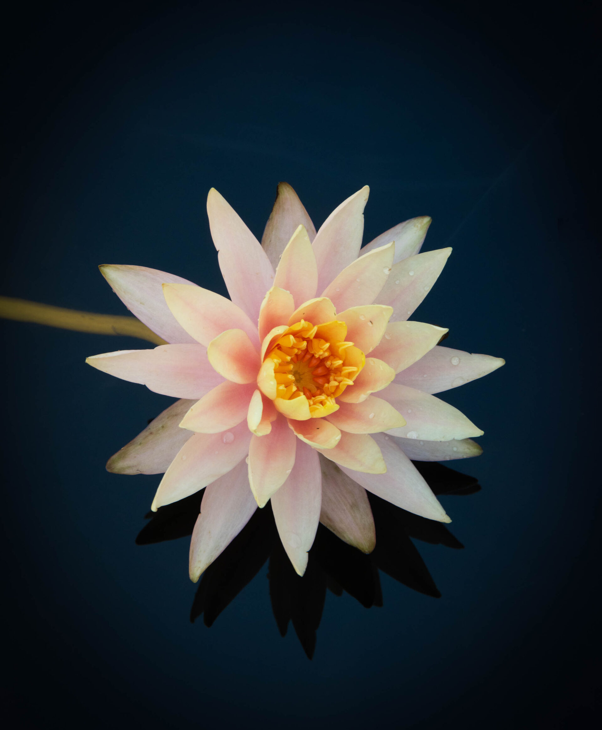 Photograph of a single peach colored water lilly