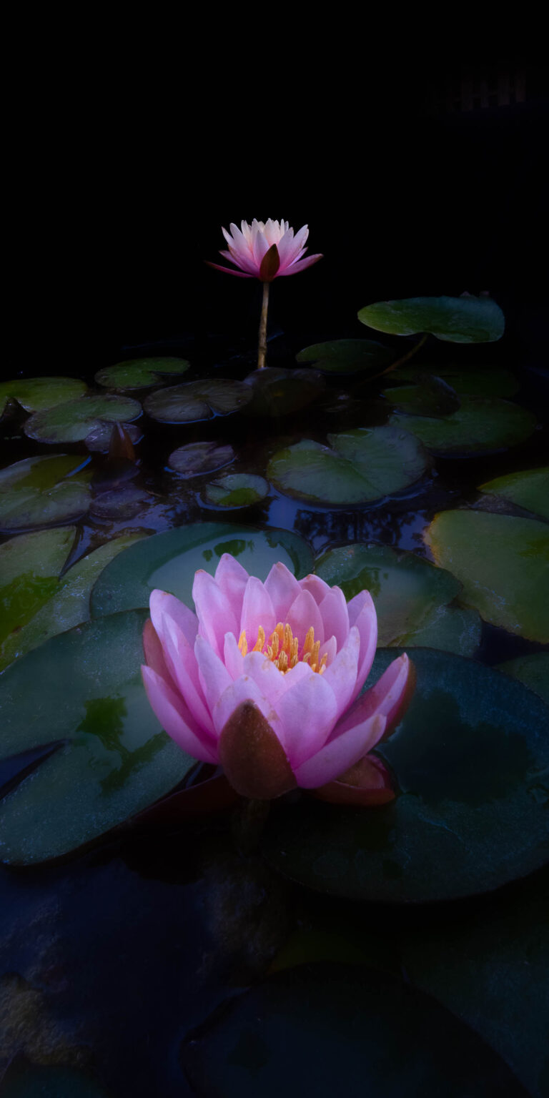 I and Thou © 2020 by Ira Gardner is a color photograph of two water lilies presented with one pink lily in the foreground and a peach lily in the background. The image is formatted like a Japanese scroll art.