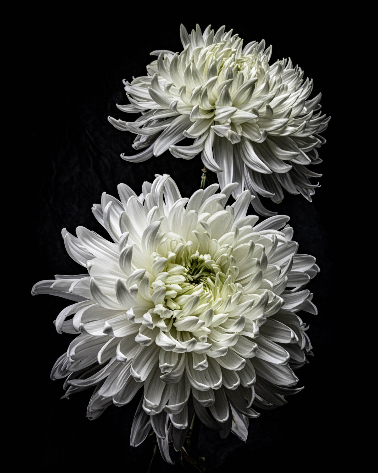 Photograph of two white Chrysanthemums